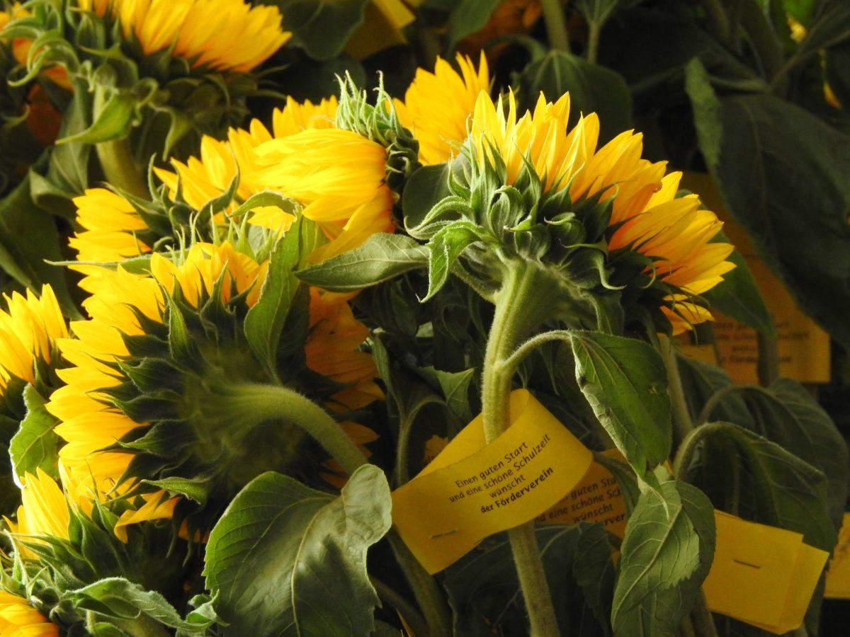Leuchtende Sonnenblumen zur Begrüßung